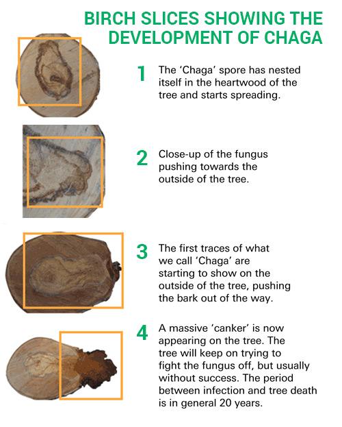 Birch Slices Showing The  Development of Chaga