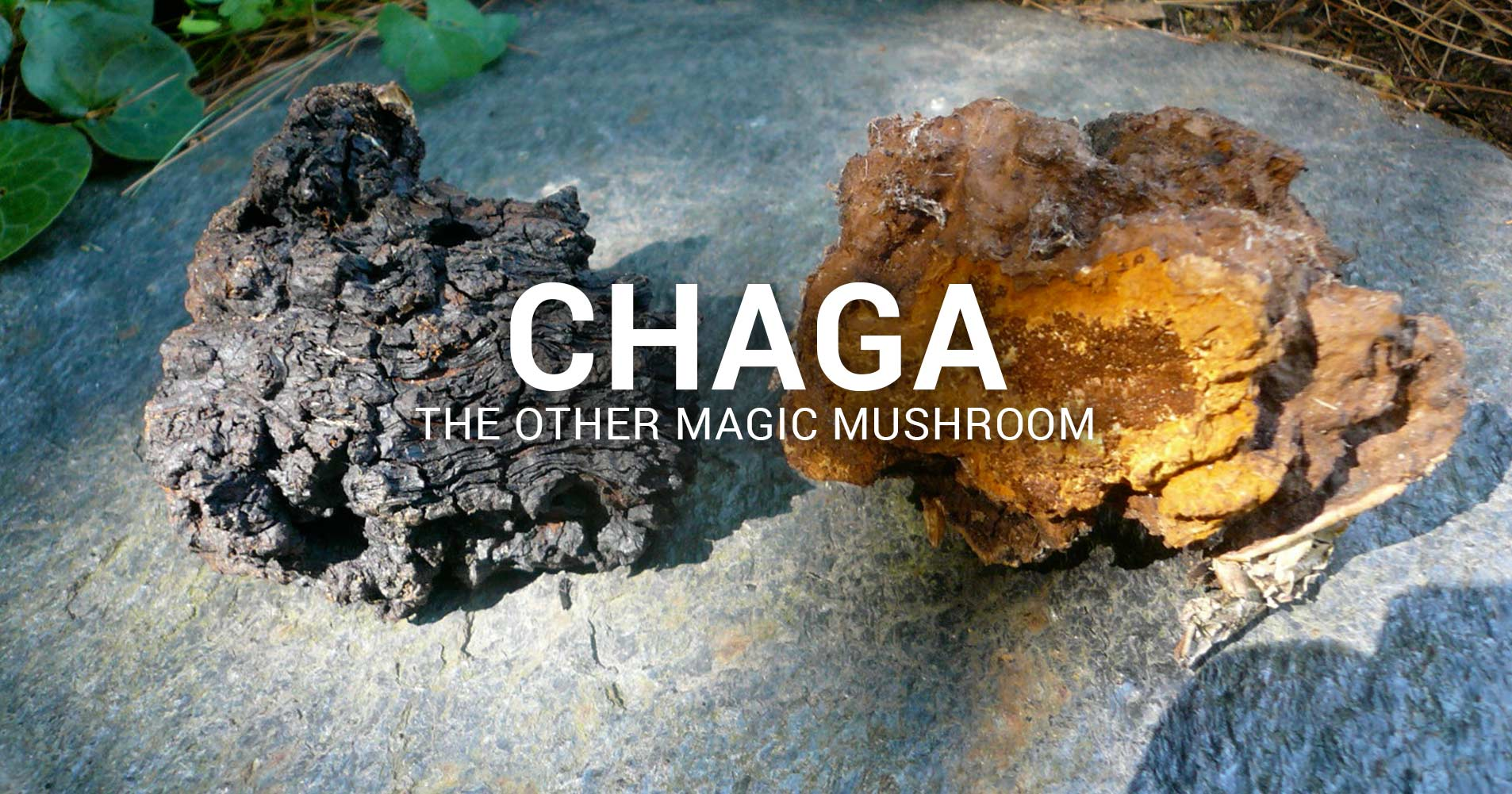 Chaga – The Other Magic Mushroom
