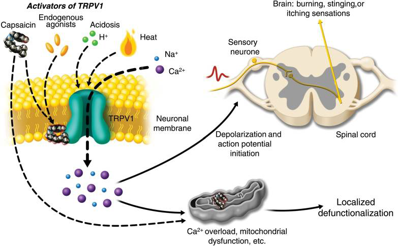 TRPV1 receptor activation