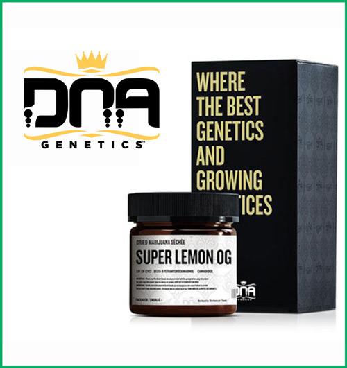 Super Lemon O.G. from DNA Genetics