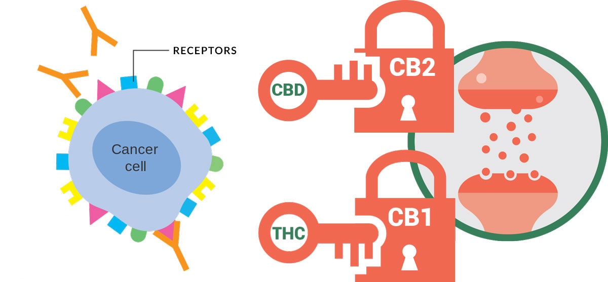 Cancer cell and CB1 CB2 receptors