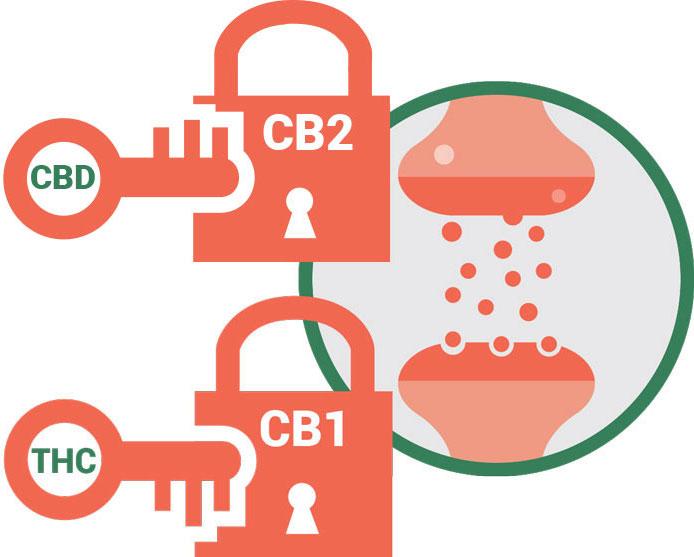 CB1 CB2 receptors