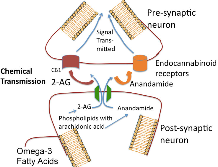 Endocanabanoid system CB1 CB2